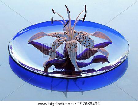 Lily tiger plate reflected glass blue Petal. Pistil stamens  transparent