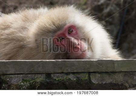 Close up of a snow monkey or Japanese macaque looking at the camera. He is reclining on a wood plank.