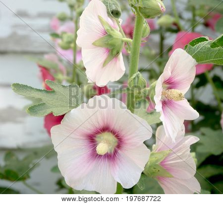 Some hollyhock plants against a faded background.
