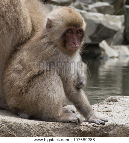 Baby snow monkey or Japanese macaque siting on a stone slab at water's edge next to its mother.