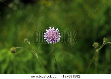 One wild-growing purple flower with yellow stamens and three stems and a strongly blurred yellow-green background