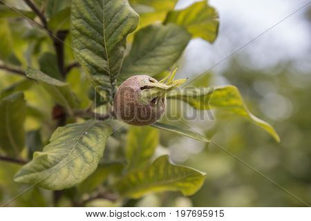 Branch With Medlar, Medlar Growing