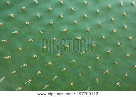 Cactus texture. Cactus needles or prickles close up.