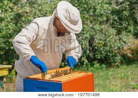 beekeeper holding a honeycomb full of bees. Beekeeper in protective workwear inspecting honeycomb frame at hive. Beekeeping concept