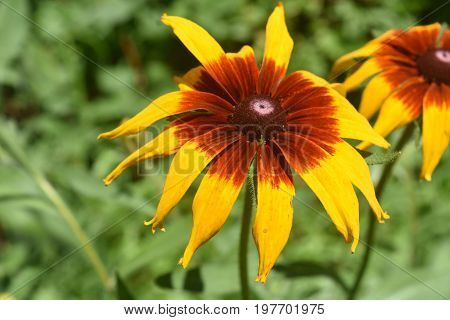 Captivating Yellow and Brown Black Eyed Susan