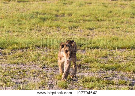 A lion cub in the savannah. Amboseli, Kenya