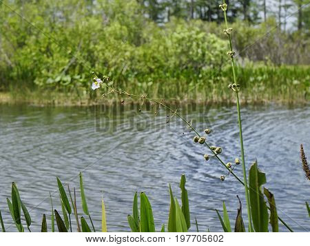 wildflowers in the swamps - arrowhead flower (Sagittaria latifolia) in the Florida Everglades poster