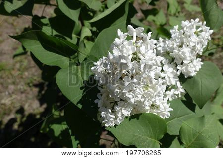 Branch Of Lilac With White Panicles In Spring