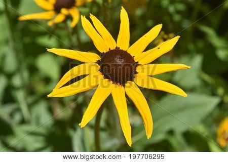 Pretty Black Eyed Susan Daisy Close Up