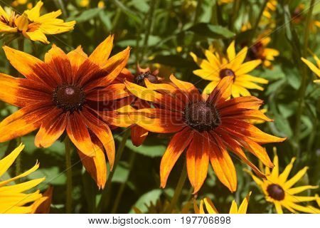 Captivating Yellow and Brown Poor Land Daisy