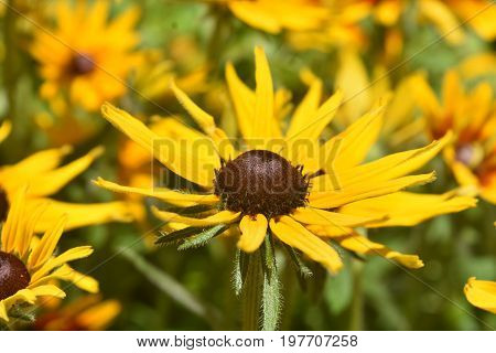Vibrant Yellow Black Eyed Susan In the Spring