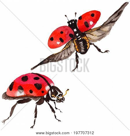 Exotic ladybug wild insect in a watercolor style isolated. Full name of the insect: ladybug. Aquarelle wild insect for background, texture, wrapper pattern or tattoo.