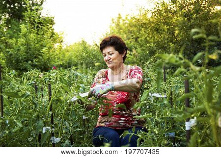 Senior Woman Working In A Vegetable Garden Tying Up Tomatoes.