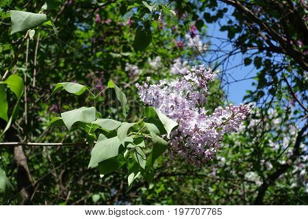 Branch Of Lilac With Two Panicles In Spring