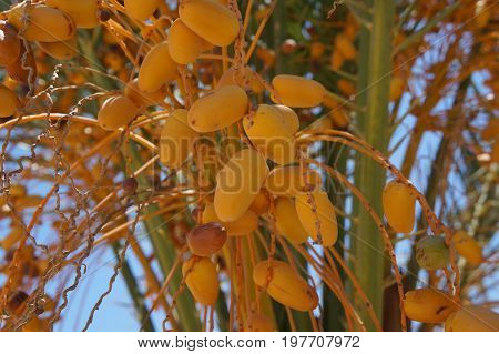 Ripe yellow dates on the palm tree, selective focus on the date