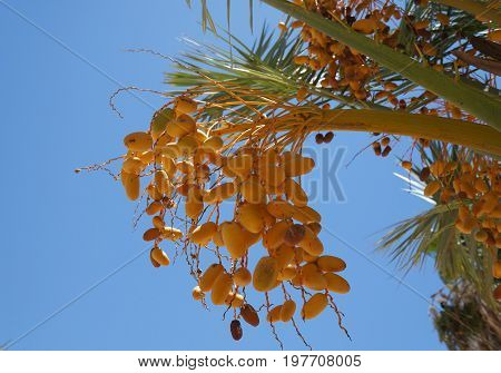 Ripe yellow dates on the palm tree, selective focus on the date, copy space