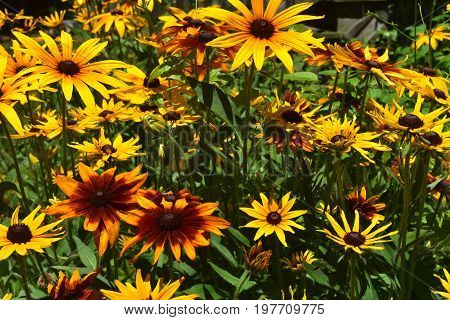 Amazing Black Eyed Susans with Vibrant Colors