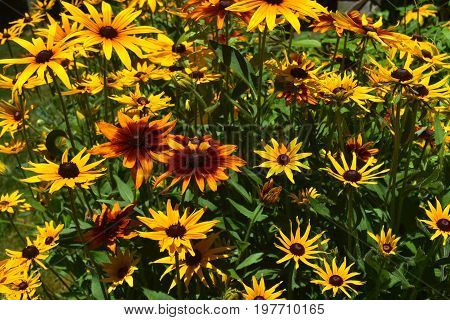Amazing Abundance of Yellow and Brown Black Eyed Susans