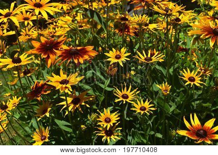 Nice Black Eyed Susan Daisies Up Close