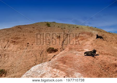 Two black goats lies on red of hill. Martian landscape of Altai mountains. Atay Republic Russia.