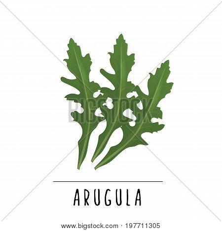 arugula vector illustration. Herbs and spices of arugula salad