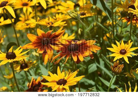 Vibrant Black Eyed Susan Daisies in Nature