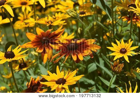Stunning Abundance of Black Eyed Susans in the Spring