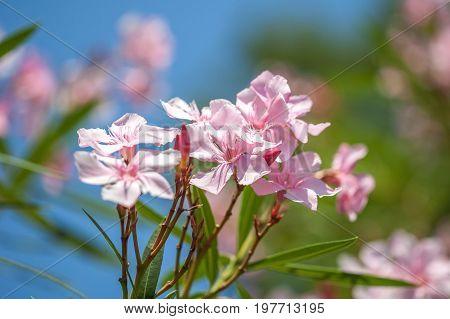 Close Up Soft Pink Sweet Oleander Flower. Sweet Oleander Blooming