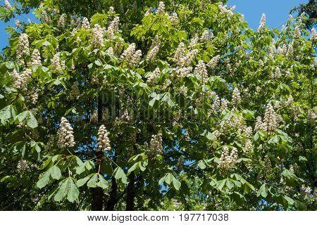Aesculus Hippocastanum Tree In Full Bloom In Spring