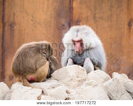 Male and female hamadryas baboon sitting on a rock