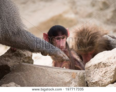 Baby hamadryas baboon sitting in between his parents