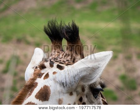 Close-up view of the back of a giraffe's head with his ossicones clearly visible