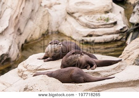 Family of three sea otters on a rock