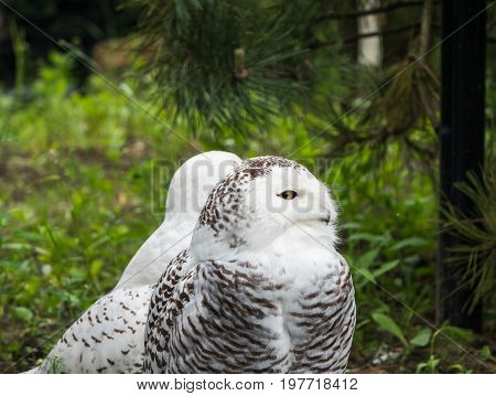 Two snow owl, with one facing camera