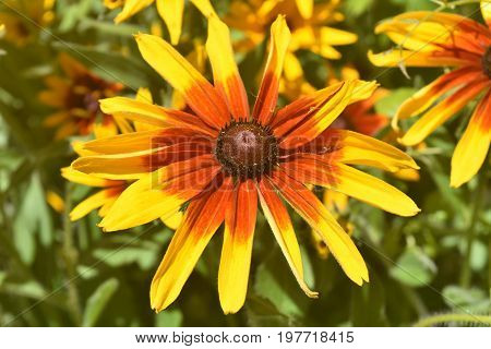 Vibrant Black Eyed Susan Daisy Blooming in the Spring