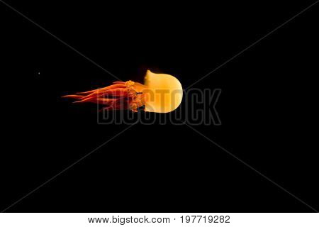 Isolated orange jellyfish on black background poison but beautiful aquatic sealife