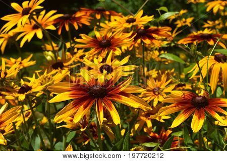 Gorgeous Yellow and Brown Black Eyed Susans