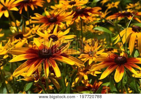 Beautiful Close Up of Blooming Black Eyed Susans