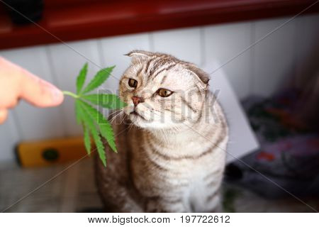 Cat sniffs  leaf of marijuana, cannabis, hashish, hash, drugs, weed. Siamese Folded Cat Marijuana. Green leaf of marijuana in hands