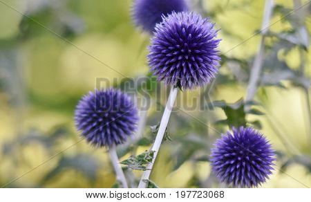 Close up of beautiful blue thistle in the garden