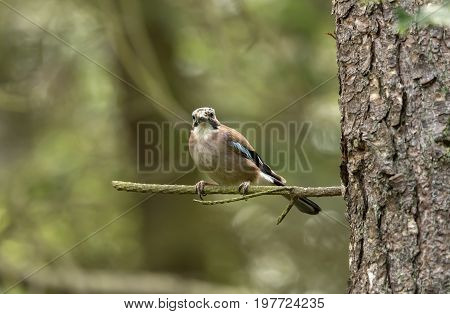 Jay, Perched On A Branch, Close Up