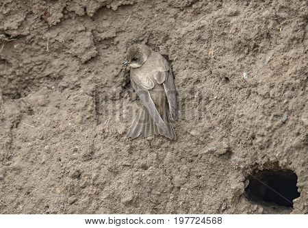 Sand Martin Juvenile On The Edge Of A Sandbank, Near Its Nest