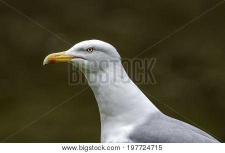 Herring Gull, Larus Argentatus, Portrait, Close Up