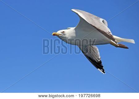 Seagull Flying Against Clear Sky 2