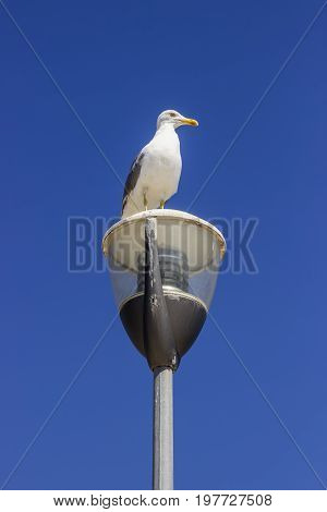 Seagull Standing On The Street Light Pole 2