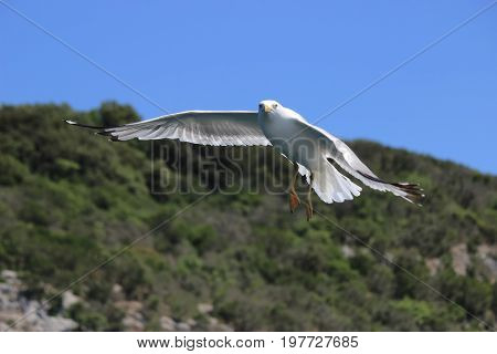 Seagull With Wing Spread