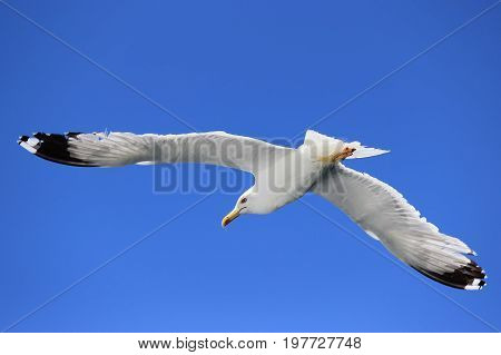 Seagull With Wing Spread Against Clear Sky