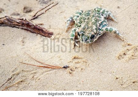 Toad Sits on a sand and Waits