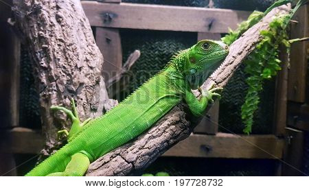 A green iguana Iguana iguana standing on a branch. This arboreal lizard is also known as common iguana or American iguana and is native to Central and South America