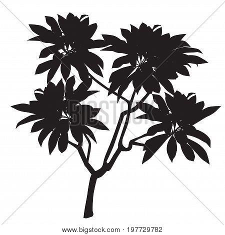 Silhouette of a plant of plumeria (Plumeria) black-and-white vector image